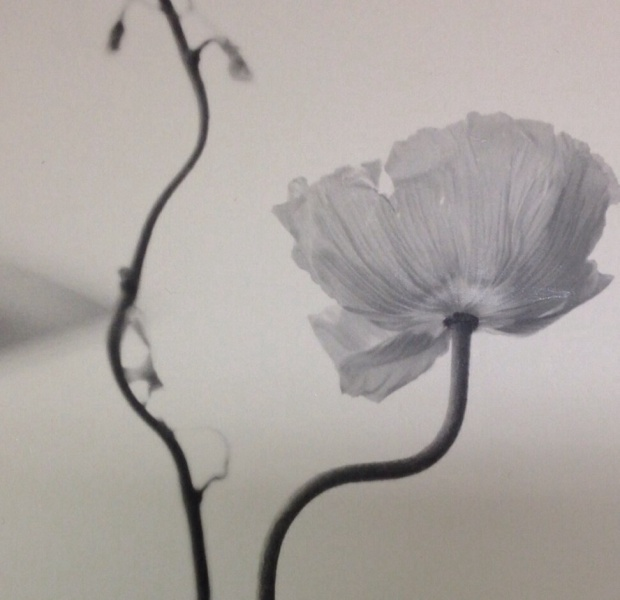 Picture of the month 6/12. Poppy.